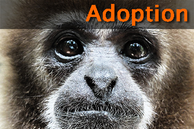 Adopt Gibbons Today
