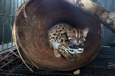 RESCUED - Leopard Cat