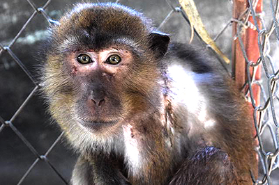 RESCUED - Macaque !